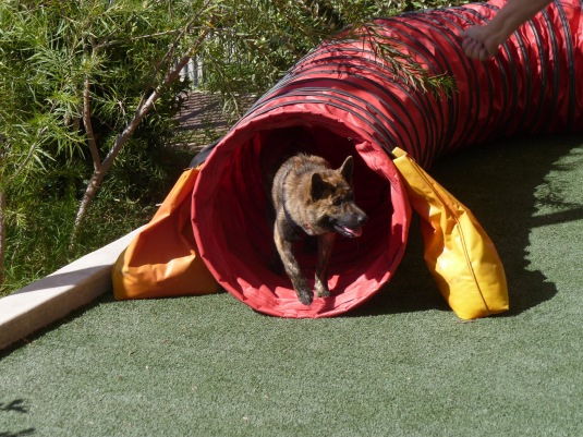 Leo in the tunnel at his agility class